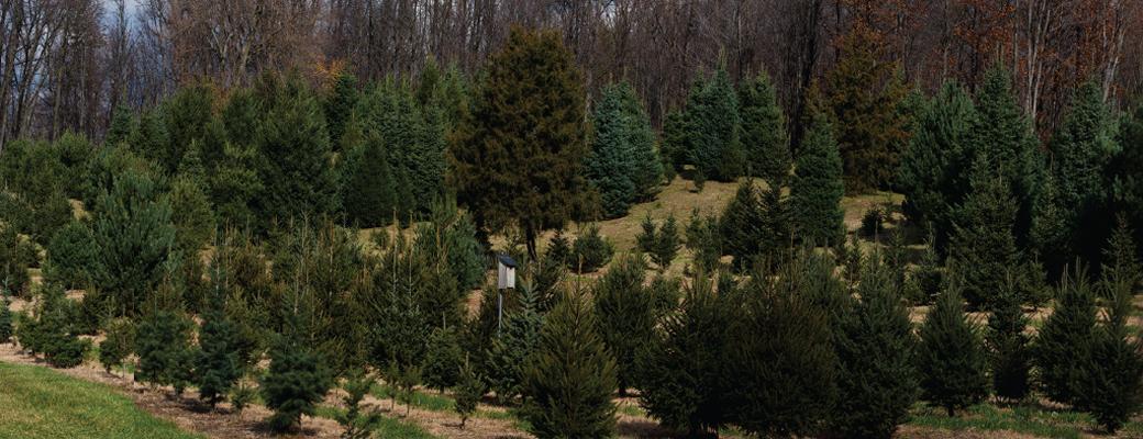 img1 - Christmas Tree Farms In Ohio